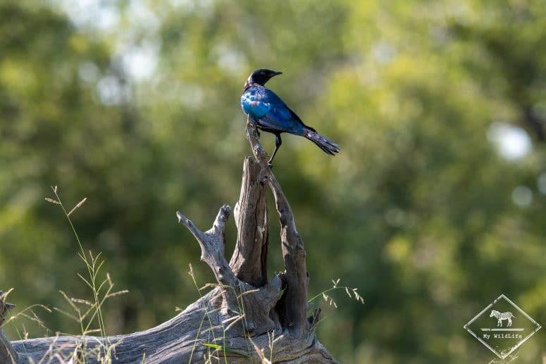 Choucador de Burchell, réserve de Timbavati