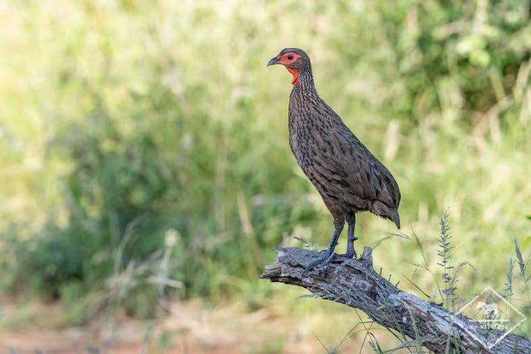 Francolin de Swainson, réserve de Timbavati