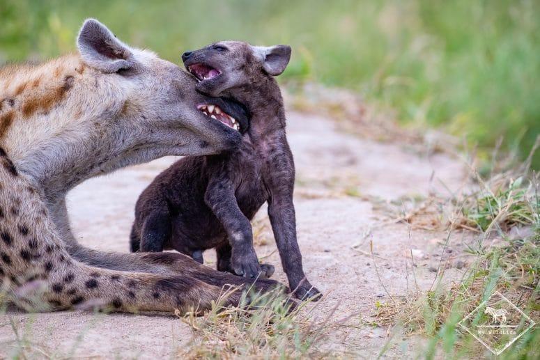 Hyènes tachetées, Timbavati