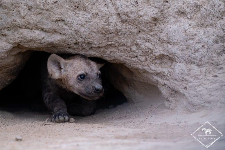 Bébé hyène à sa tanière, Timbavati