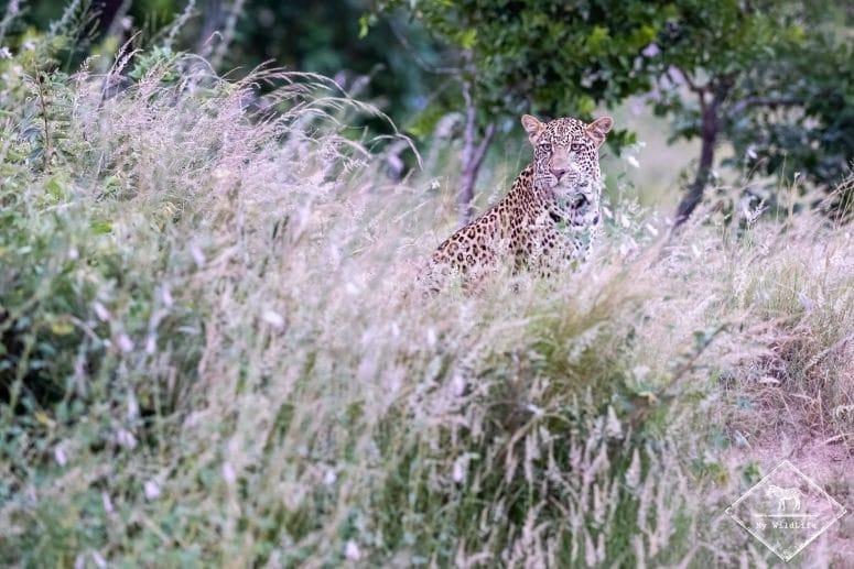 Léopard, réserve privée de Timbavati