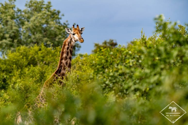 Girafe, Timbavati