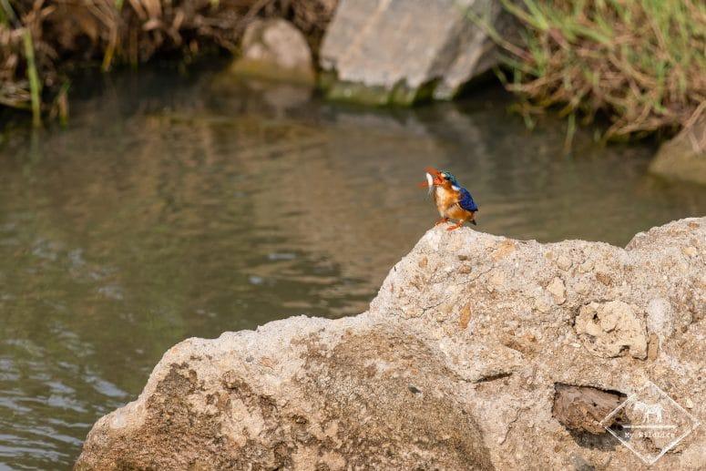 Martin-pêcheur huppé, réserve de Timbavati