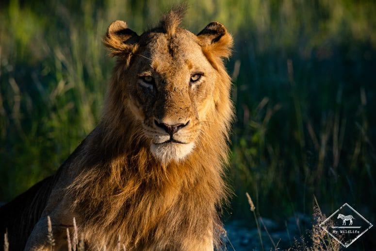 Lion, réserve privée de Timbavati