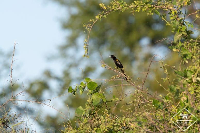Euplecte à épaules blanches, réserve de Timbavati