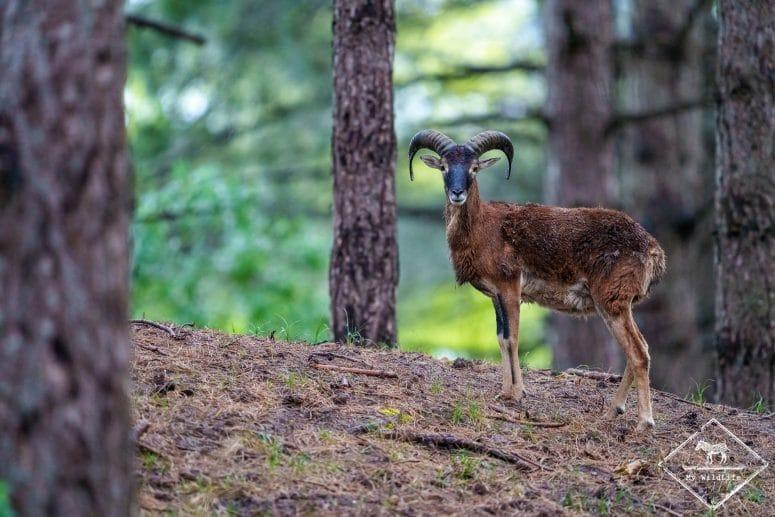 Mouflon méditerranéen, parc du Marquenterre