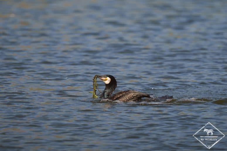 Grand cormoran, parc du Marquenterre