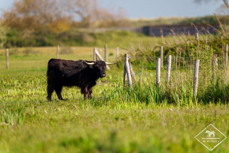 Vache highland, parc du Marquenterre