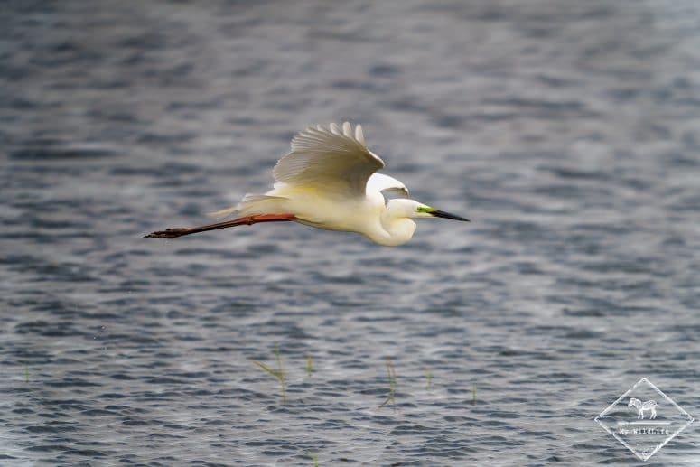 Grande aigrette en plumage nuptial, parc du Marquenterre