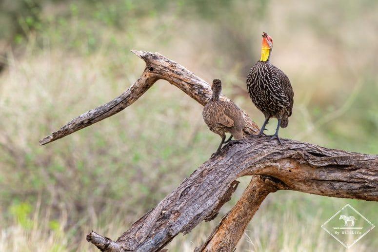 Francolin à cou jaune, Samburu