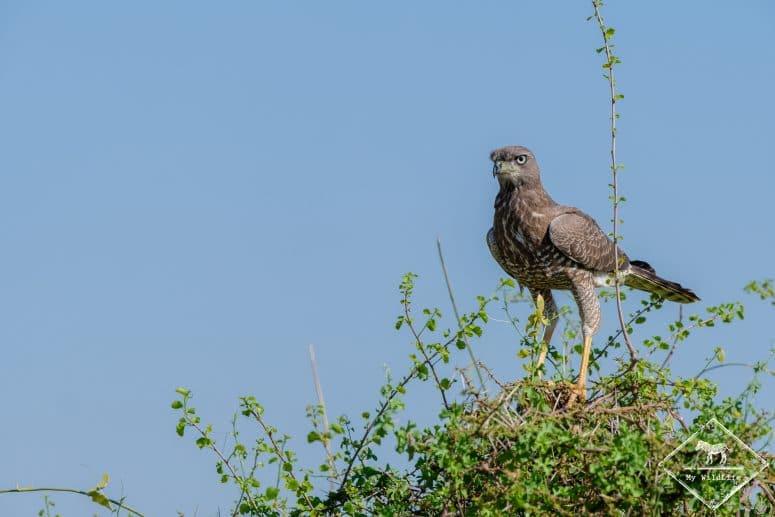 Autour à ailes grises juvénile, Samburu