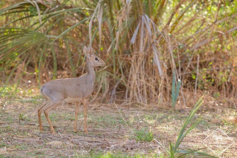 Dik-dik, Samburu