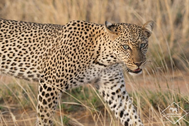 Léopard, Samburu