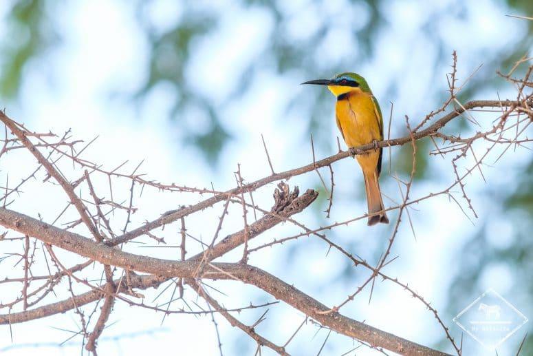 Guêpier nain, Samburu