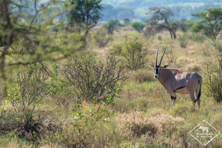Oryx Beisa, Samburu