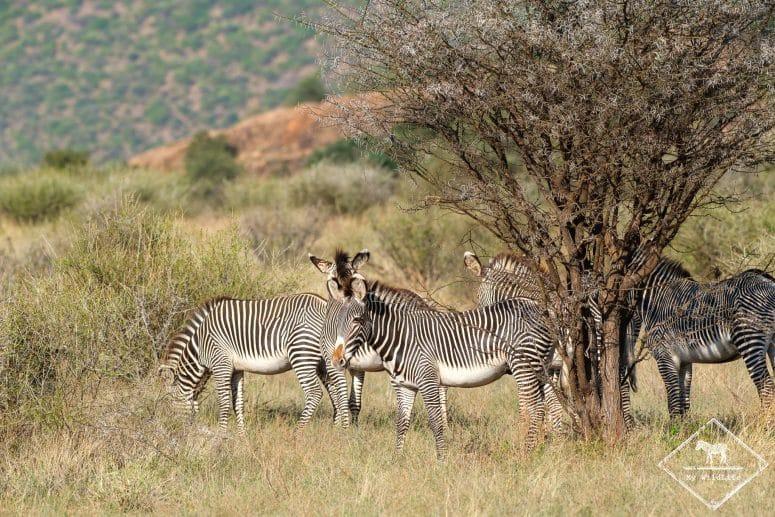 Zèbre de Grévy, Samburu