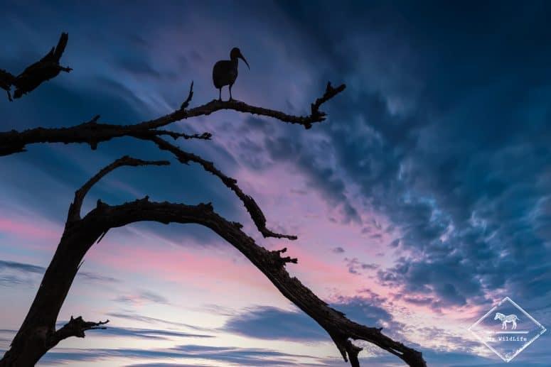 Ibis hagedash, Samburu