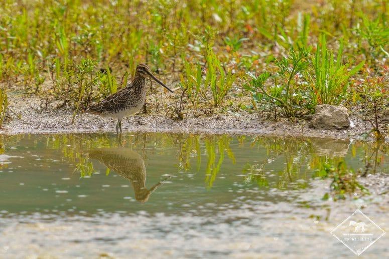 Bécassine des marais, Réserve Ornithologique Baie de Somme – Grand-Laviers