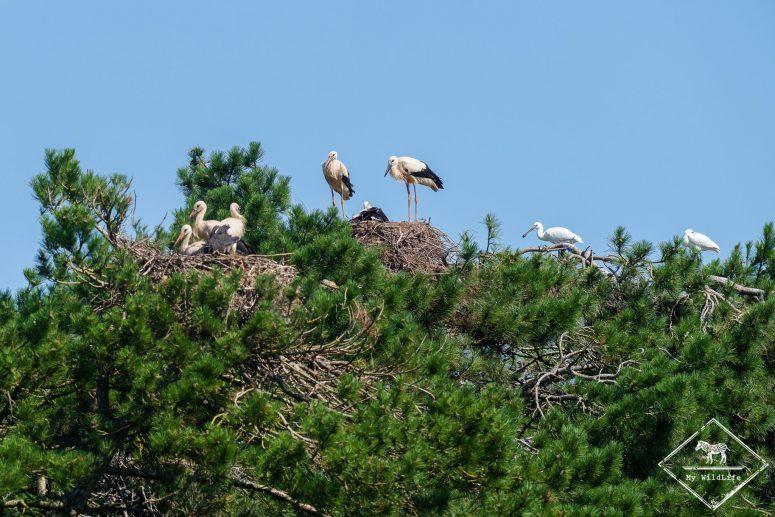 Nids de cigognes blanches, parc du Marquenterre