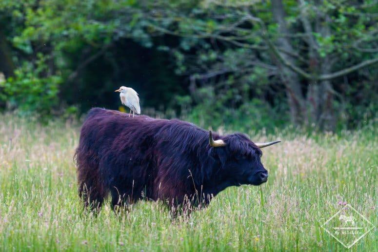 Héron garde-boeufs et vache Highland, parc du Marquenterre