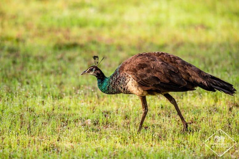 Paon bleu, parc national Wilpattu, Sri Lanka