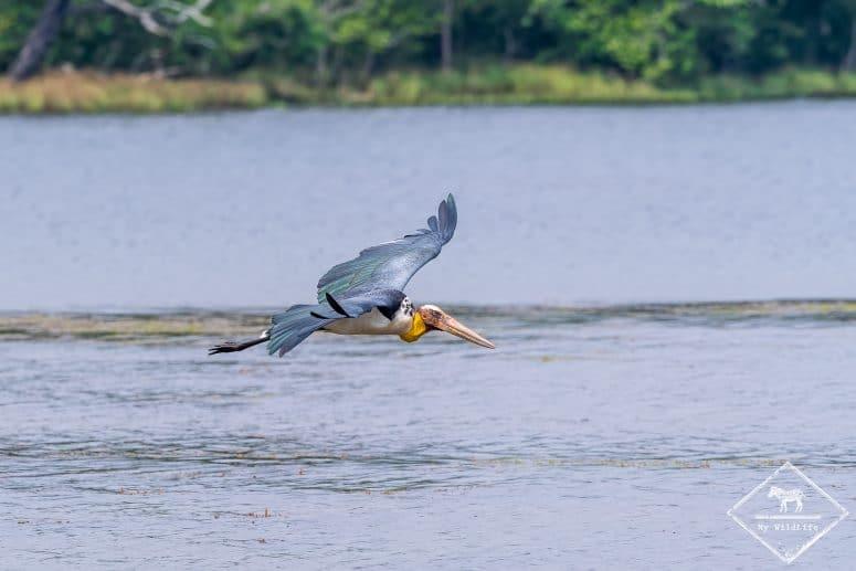 Marabout chevelu, parc national Wilpattu, Sri Lanka