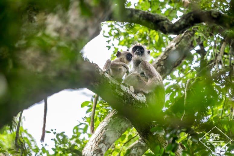 Entelle des Indes, Parc national Wilpattu, Sri Lanka