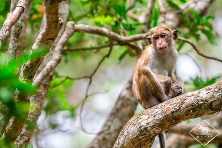 Macaque à toque, Wilpattu