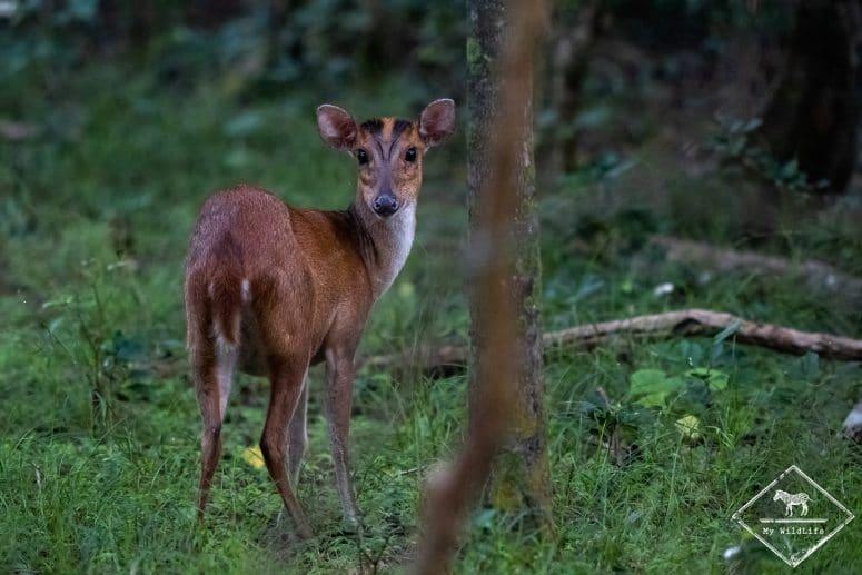 Muntjac indien, parc national Wilpattu