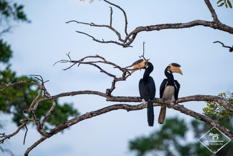Calaos de Malabar, parc national Wilpattu