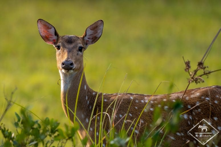 Cerf axis, parc national Wilpattu