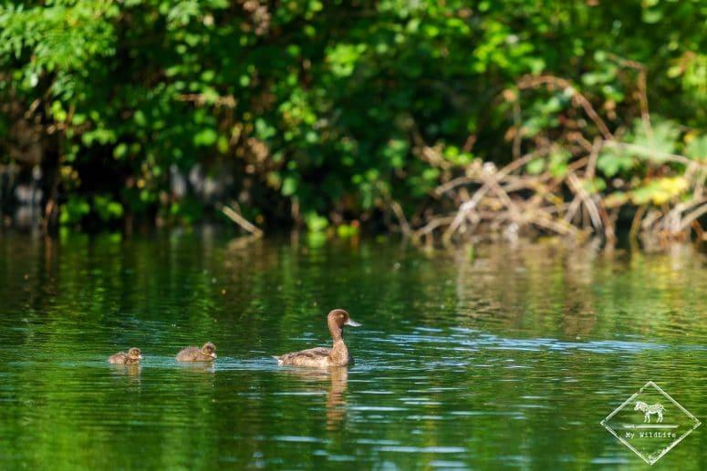 Fuligules milouin, étangs de Cléry-sur-Somme