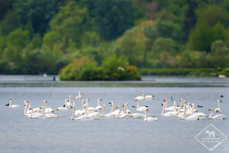 Cygnes tuberculés, , étangs de Cléry-sur-Somme
