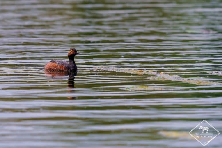 Grèbe à cou noir, étangs de Cléry-sur-Somme