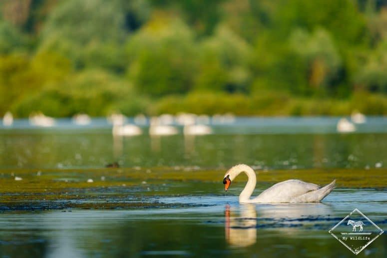 Cygne tuberculé, , étangs de Cléry-sur-Somme