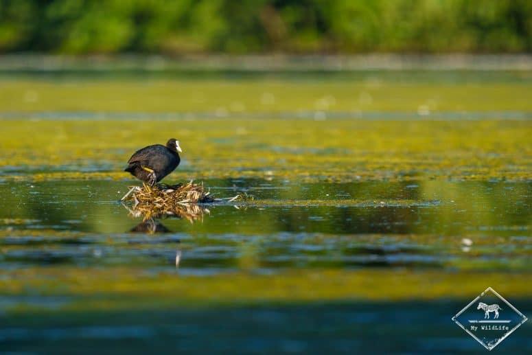 Foulque macroule nidifiant, étangs de Cléry-sur-Somme