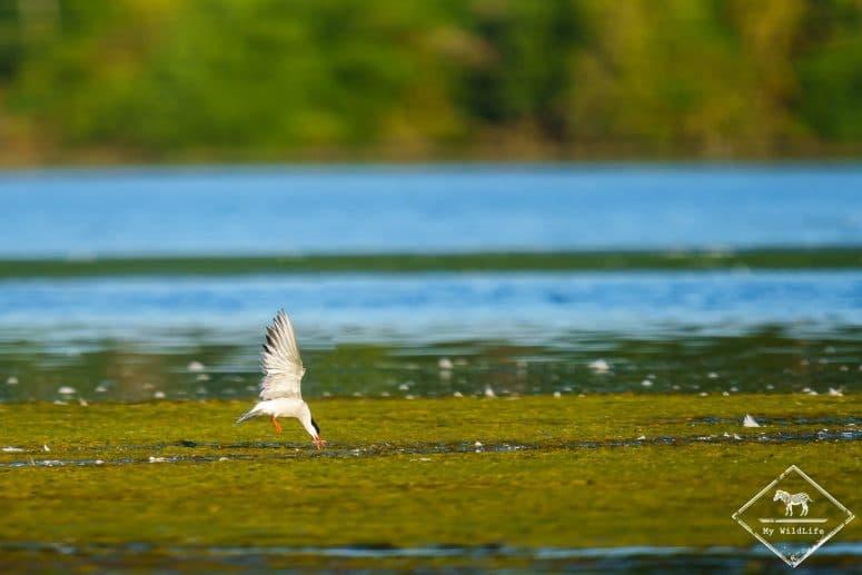 Sterne Pierregarin à la pêche, étangs de Cléry-sur-Somme
