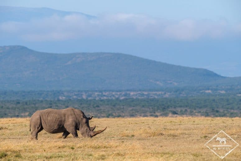 Rhinocéros blanc, Ol Pejeta Conservancy