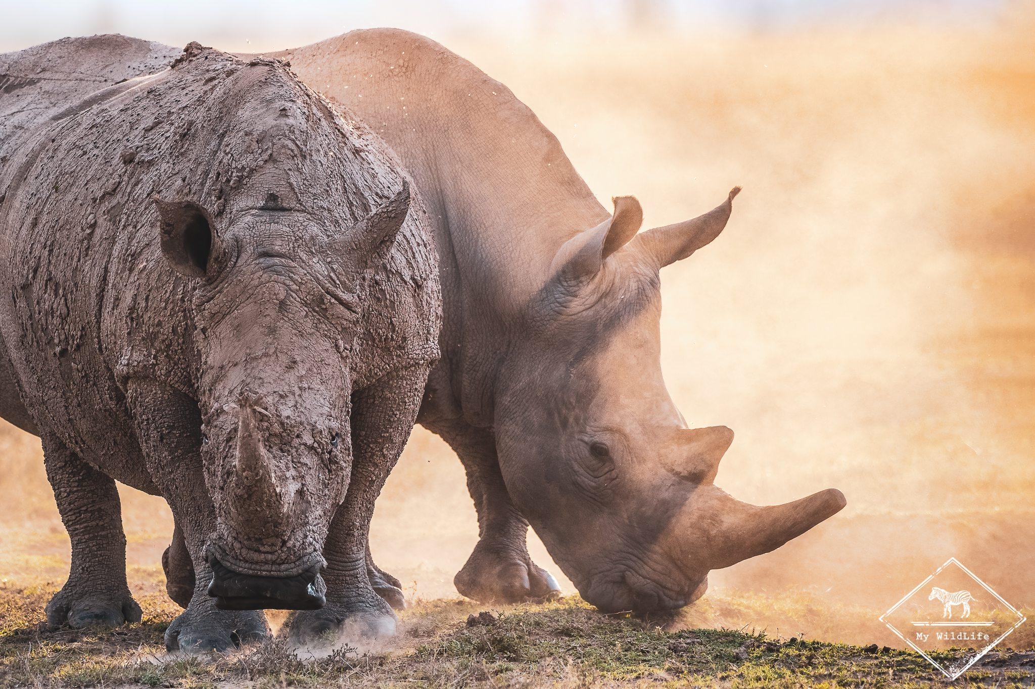 Rhinocéros blancs, Ol Pejeta Conservancy