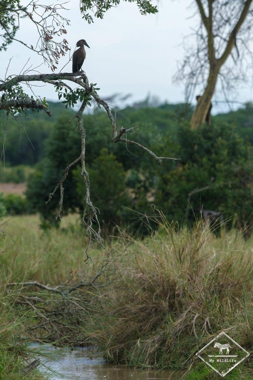 Ombrette africaine, Ol Pejeta Conservancy