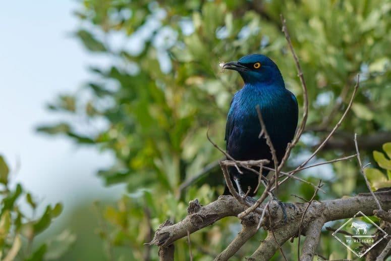 Choucador à oreillons bleus, Ol Pejeta Conservancy