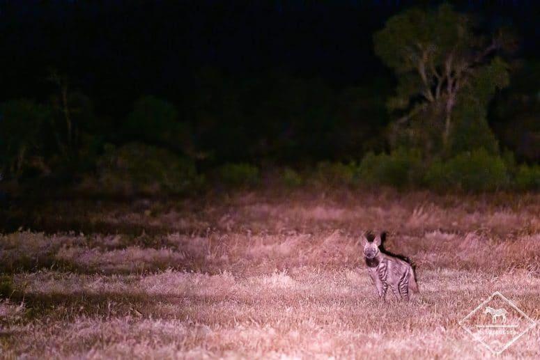 Hyène rayée, night game drive à Ol Pejeta Conservancy