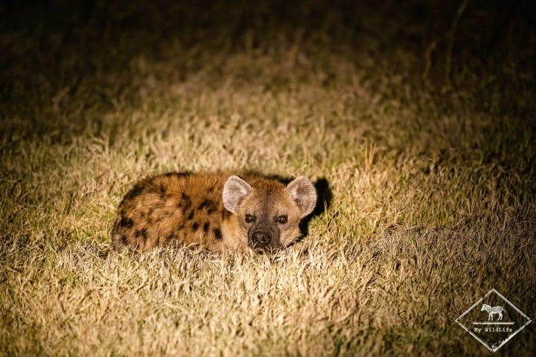 Hyène tachetée, night game drive à Ol Pejeta Conservancy