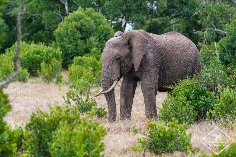 Eléphant, Ol Pejeta Conservancy