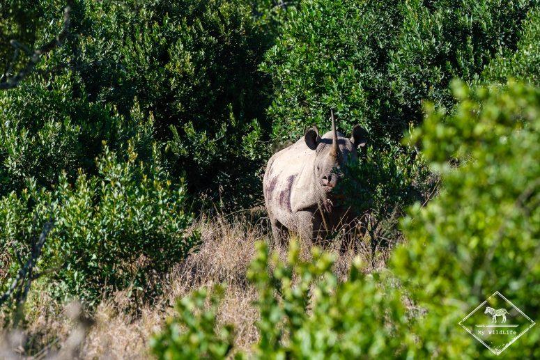 Rhinocéros noir, Ol Pejeta Conservancy