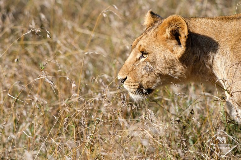 Lionne, Ol Pejeta Conservancy