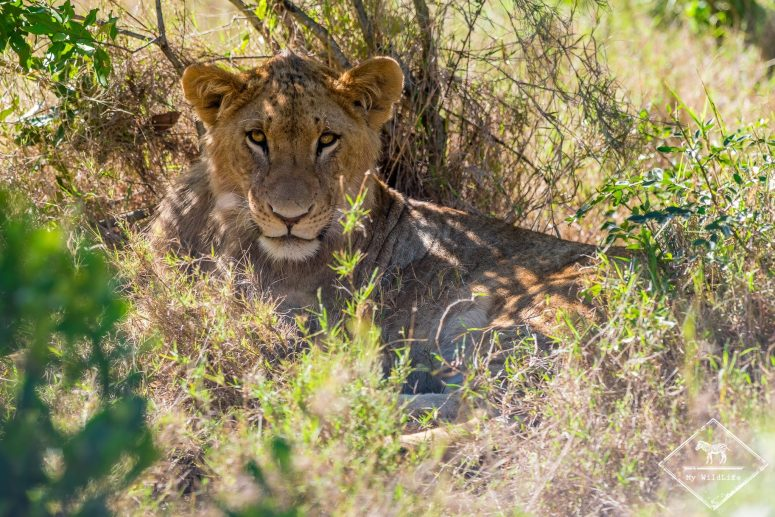 Lion, Ol Pejeta Conservancy