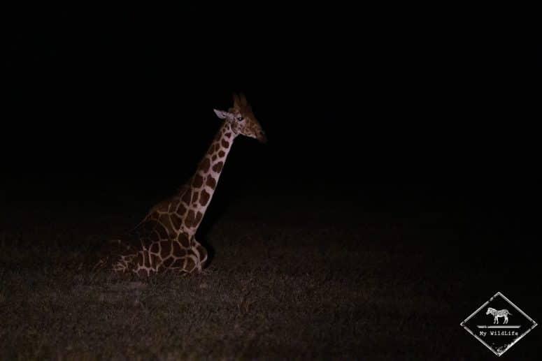 Girafe réticulée, night game drive à Ol Pejeta Conservancy