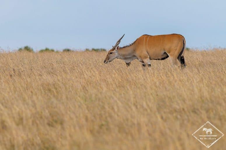Eland du Cap, Ol Pejeta Conservancy