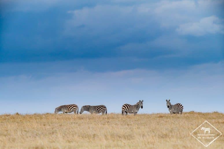 Zèbres des plaines, Ol Pejeta Conservancy